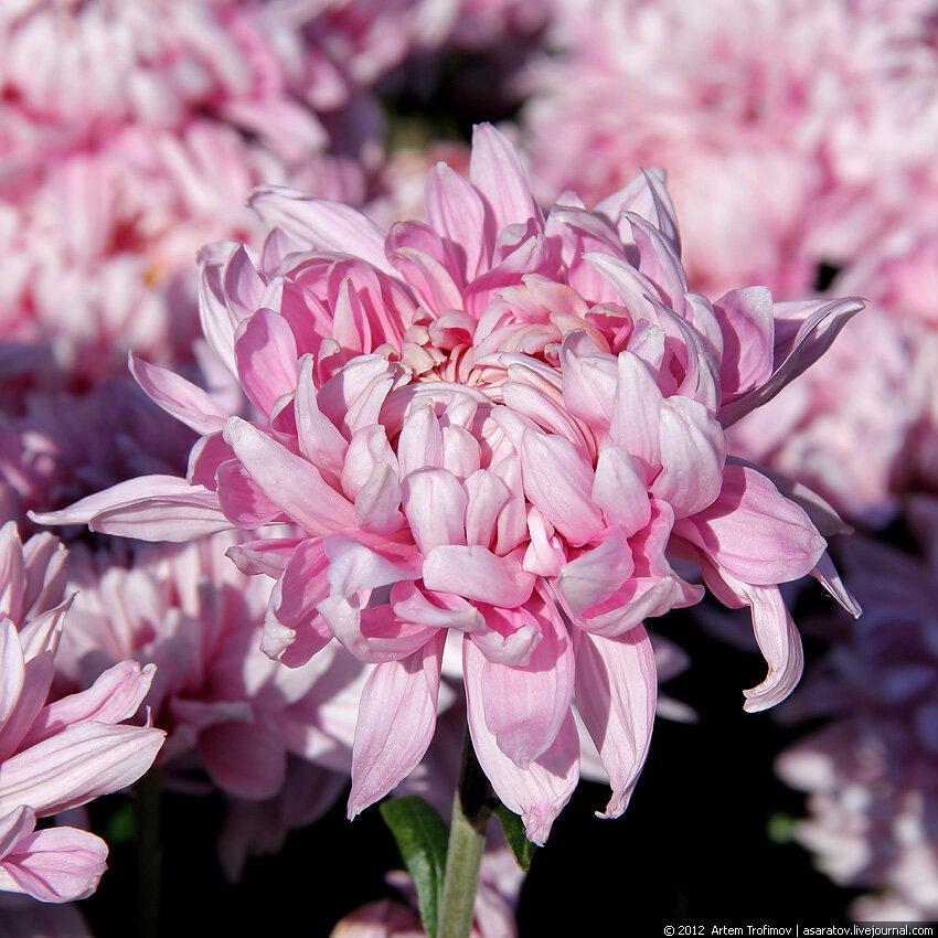 Крупные розовые хризантемы