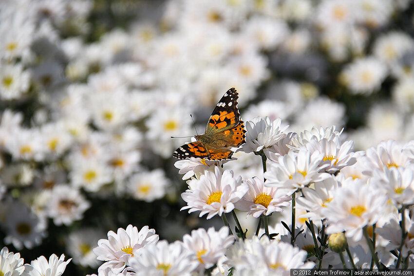 Бабочка на цветке белой хризантемы