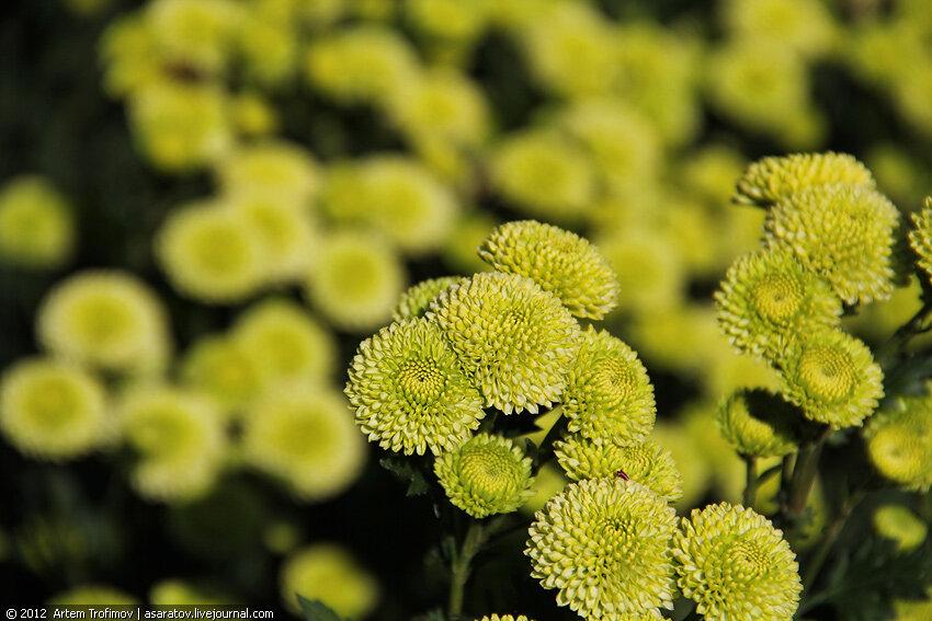 Зеленые хризантемы