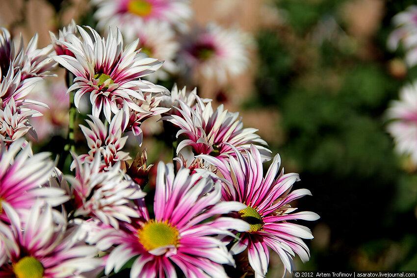 Яркие краски хризантем