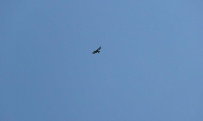 То ли орел, то ли сокол...