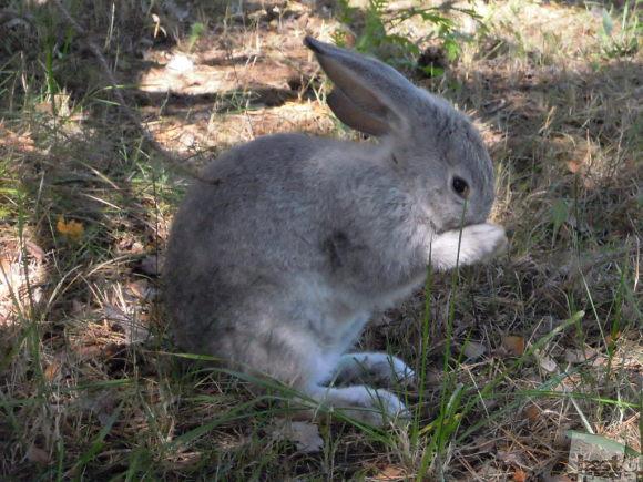 Лучший кролик России