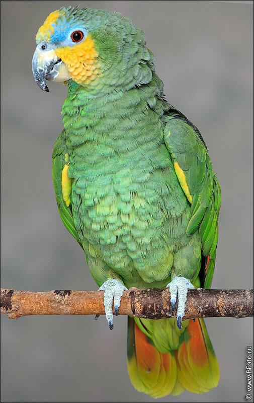 Фотография Красивый попугай фото высокого разрешения.