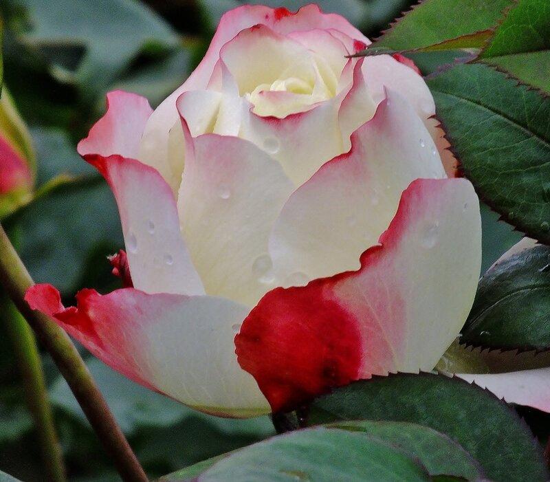"""Роза осени """"Лед и пламя""""."""
