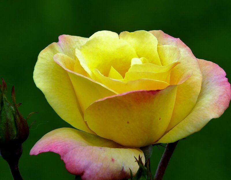 Солнечная роза.