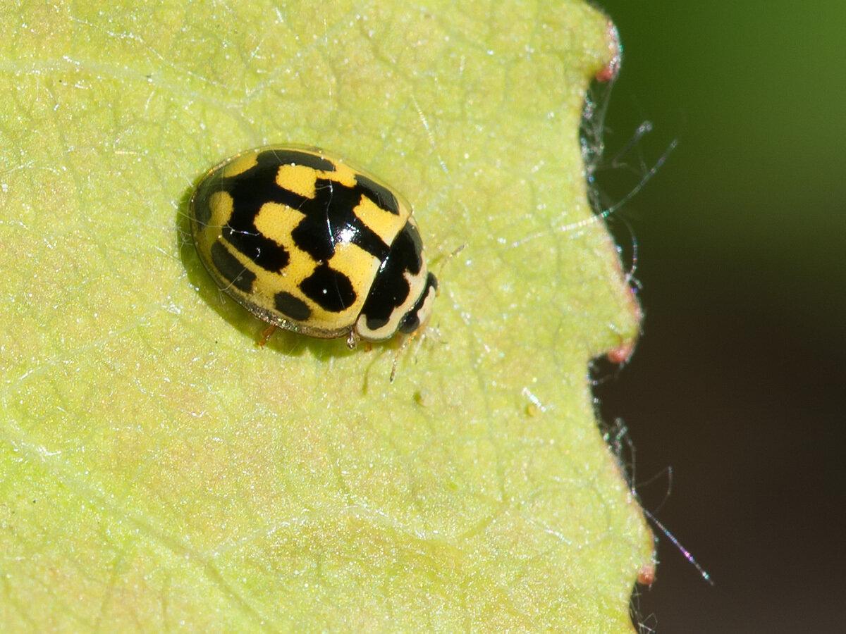 Коровка четырнадцатиточечная (Propylea quatuordecimpunctata). Автор фото: Владимир Брюхов