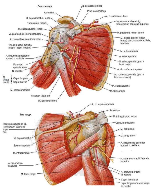 И наконец, рассмотрим топографию поперечной артерии шеи (a. transversae colli) и дорсального нерва лопатки (n...