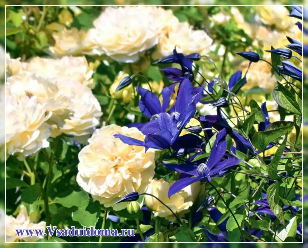 клематисы и розы фото