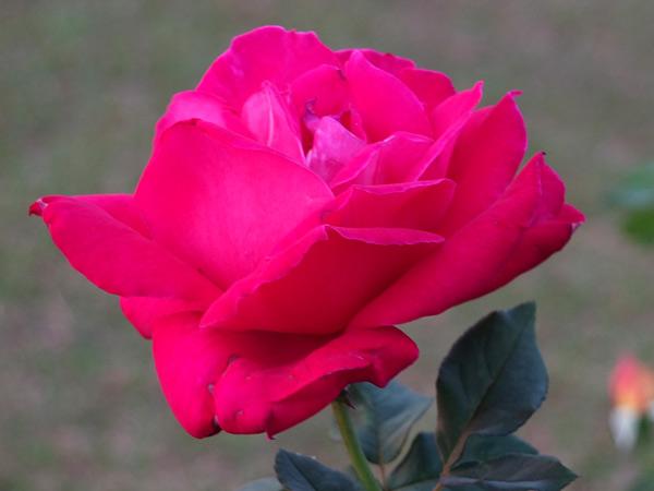 лучшие душистые сорта роз