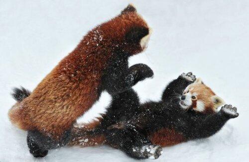 Красные панды - веселый бой