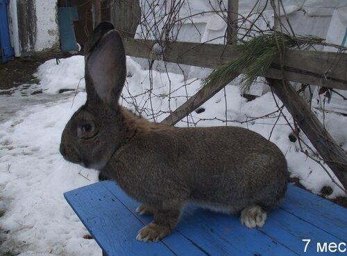 Бельгийский Великан(Обр,Ризен,Фландр) Кролики гиганты.часть 2 0_9ad79_656ccf88_L