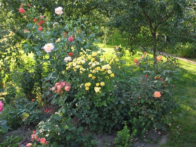 Что нельзя сажать рядом с розами