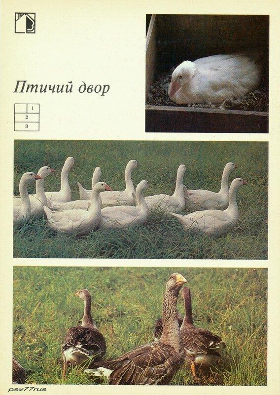 1—2. Холмогорские гуси. 3. Тульские бойцовые гуси.