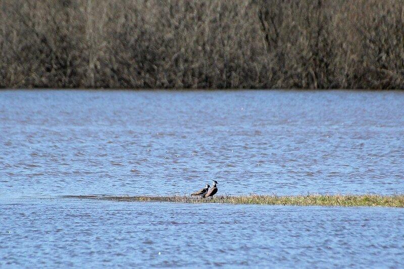 Пара чибисов (Vanellus vanellus) на косе на заливных лугах в районе Бобровых озёр