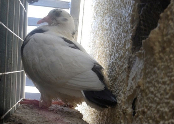 Маленький голубь
