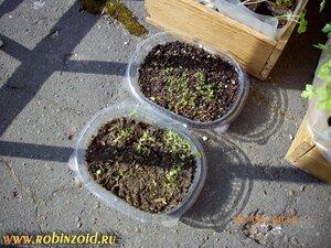 посадка петунии семенами