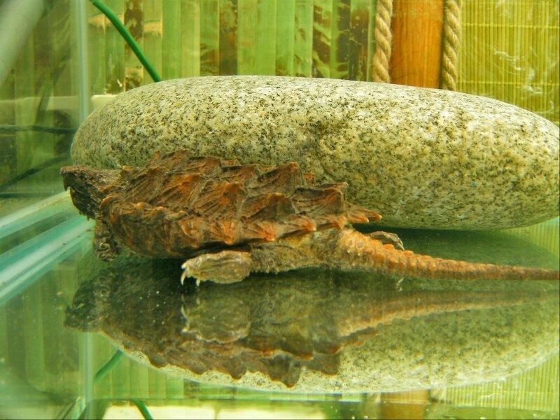Бахромчатая черепаха (матамата)