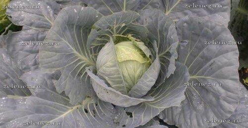 Выращиваем капусту в огороде