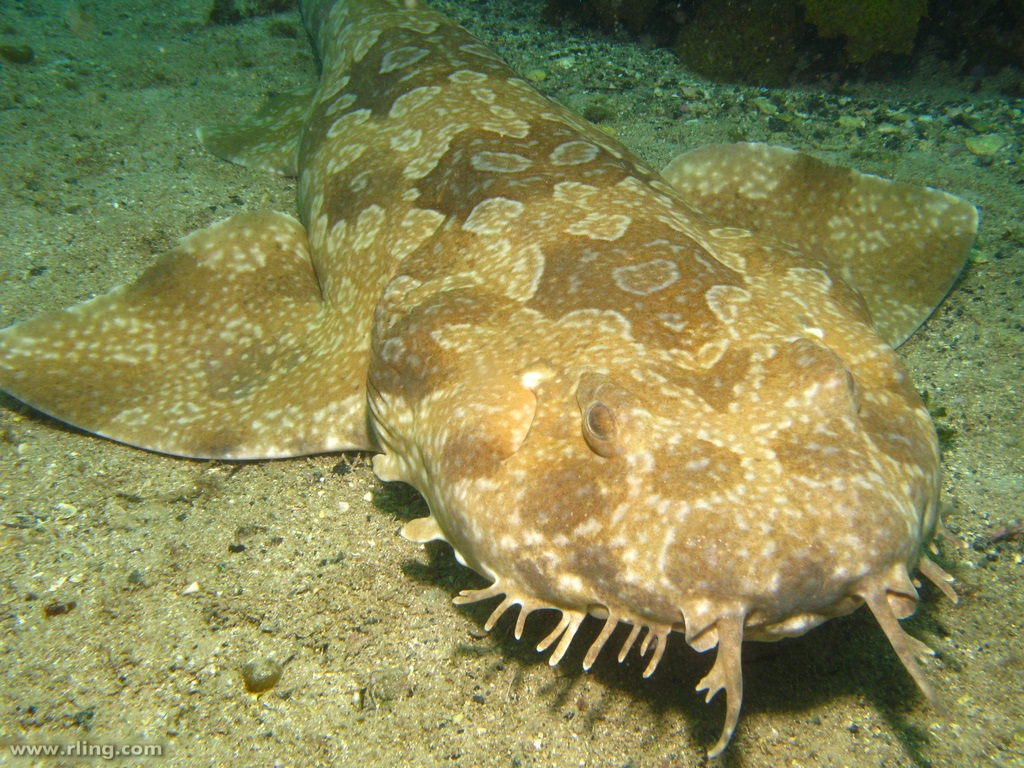 Portrait of a Spotted Wobbegong (Orectolobus maculatus). Fairy Bower, Manly, NSW