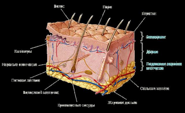 факты о коже человека, слои кожи