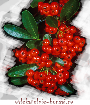 пираканта ягоды