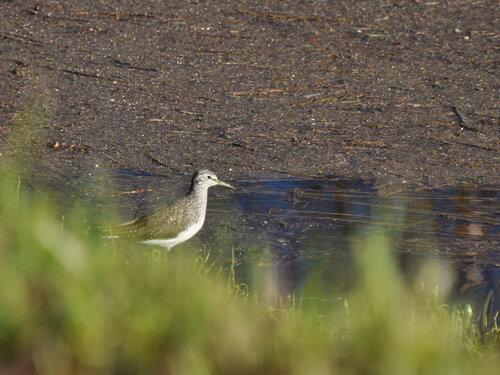 Альбом: Из жизни птиц Scolopacidae Автор фото: Владимир Брюхов