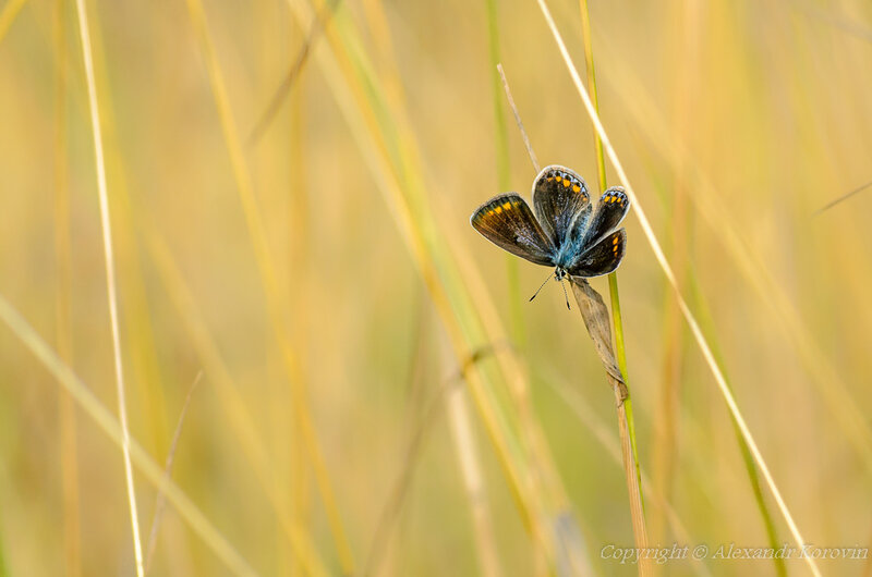 Голубянка Икар - самка