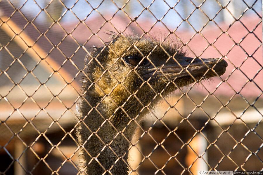 Страус в саранском зоопарке