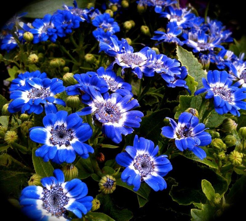 синие живые цветы названия и фото это стёб