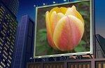 Король тюльпанов.jpg