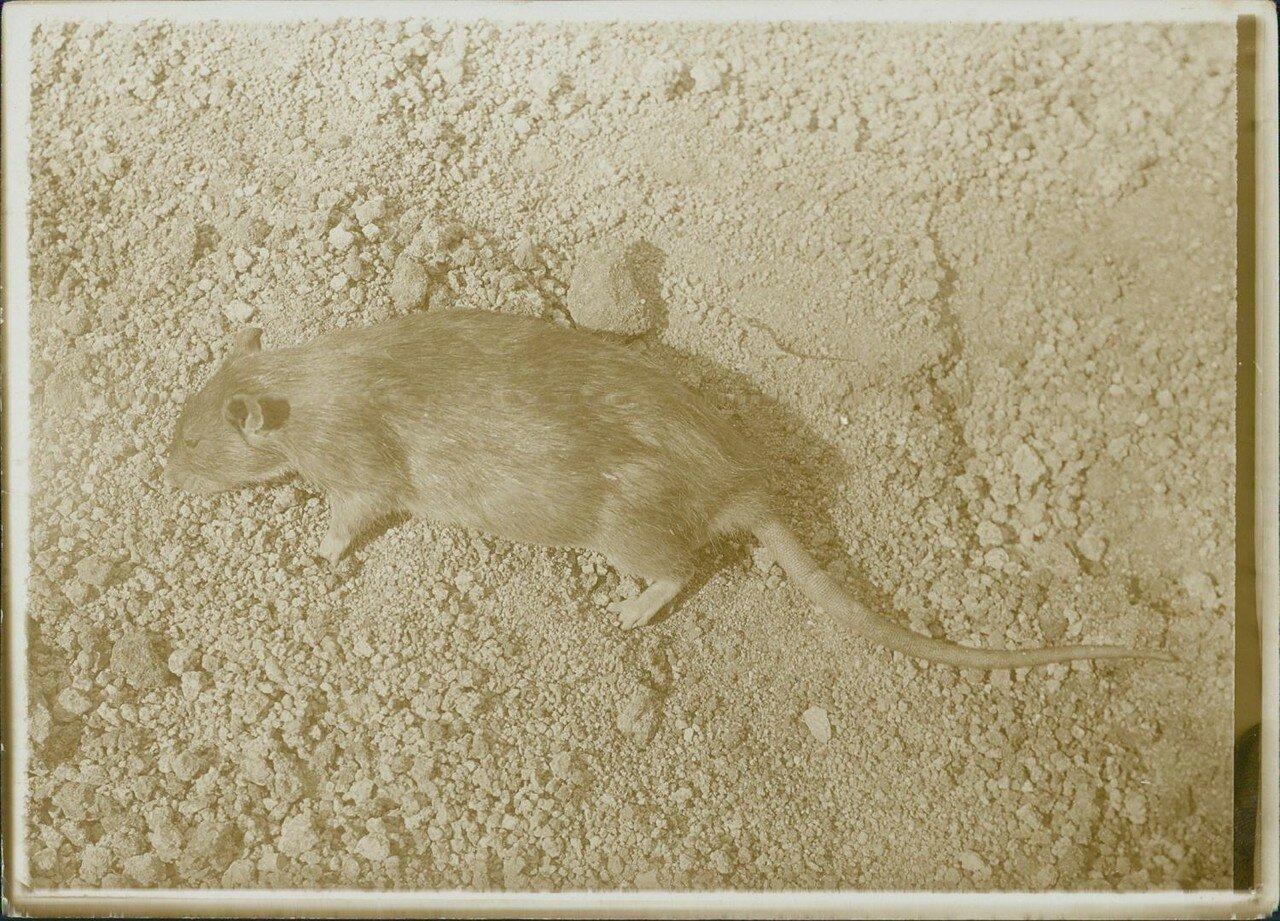 1900.  Самый многочисленный парижский обитатель или серая крыса