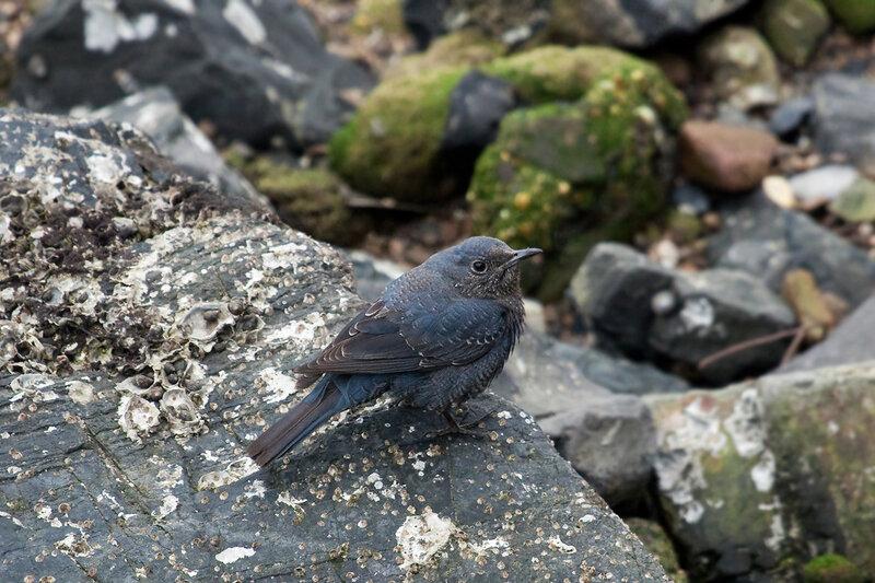 Синий каменный дрозд (Monticola solitarius)