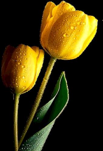 тюльпаны_Tulips (31).png