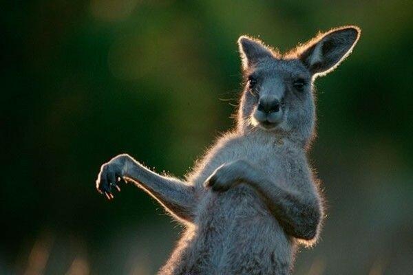В Америке маленького кенгуру украли из сумки матери