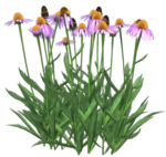 Cone-Flower-Belles-Graphics.png