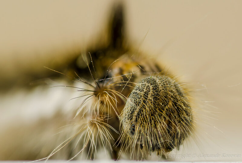 Портрет шелкопряда травяного