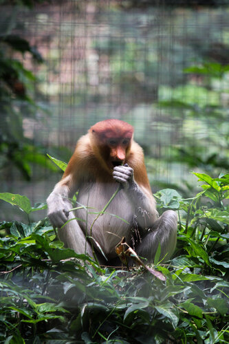 носатые обезьяны пробоскусы (proboscis monkey)