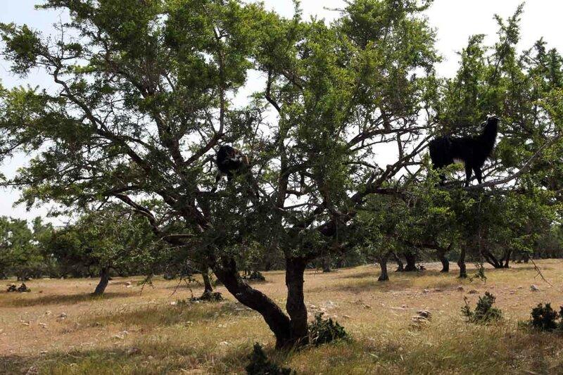 Марокко - козлы на деревьях