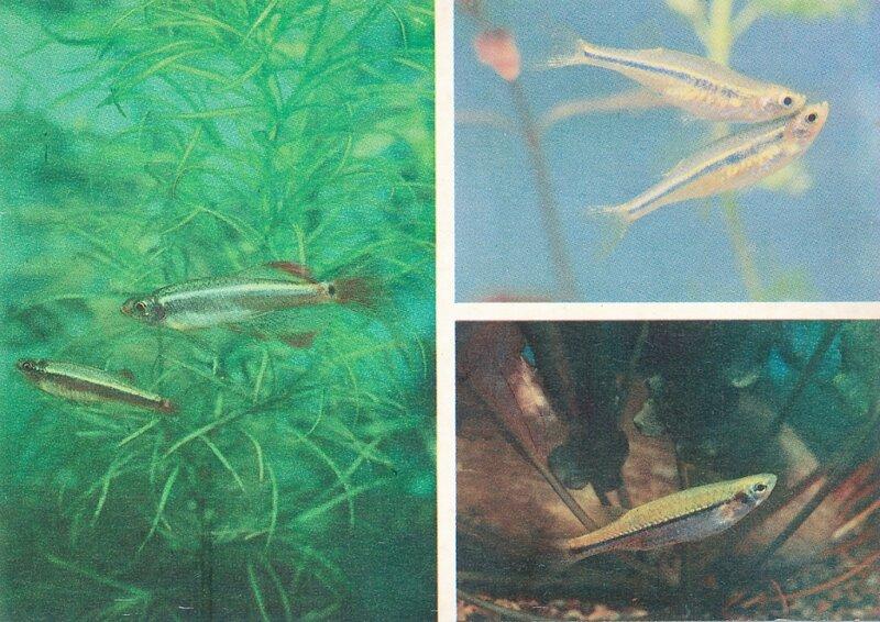 КАРДИНАЛ. Tanichthys albonubes.  ЛАУБУКА, ИЛИ ЗОЛОТОЙ НОС. Chela dadyburjori,  ЛЕТАЮЩИЙ ЭЗОМУС. Esomus danrica.