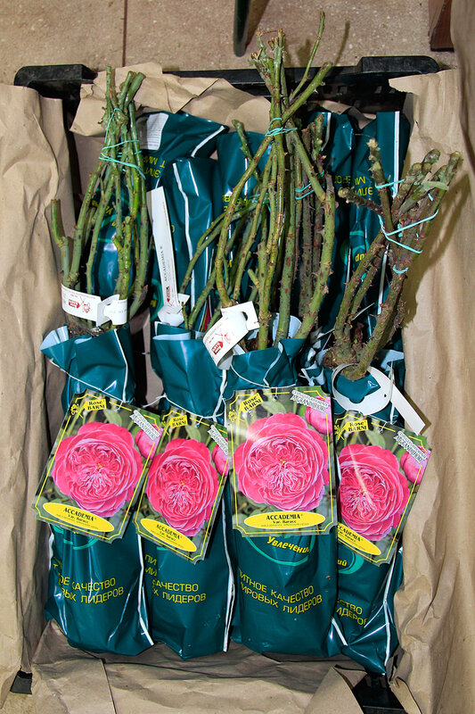 Саженцы роз уже в наших магазинах!