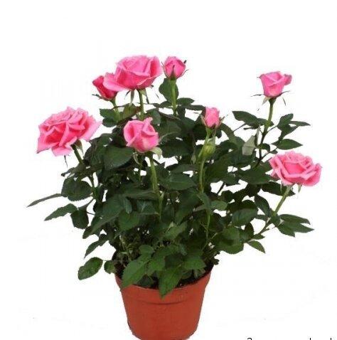 Как вырастить комнатные розы дома
