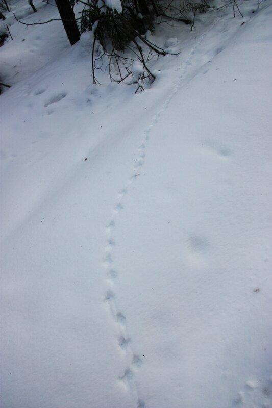 зимний лес, снег, следы
