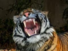 Тигр растерзал своего дрессировщика на глазах у зрителей