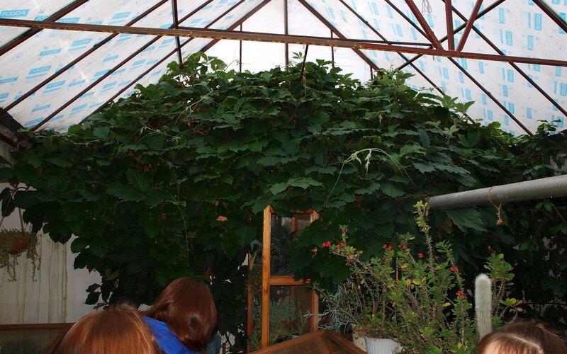 Падуб остролистный или обыкновенный (остролист) над входом в оранжерею