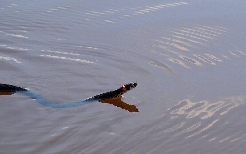 уж обыкновенный (Natrix natrix) плывёт по реке Вятке P5172902.jpg