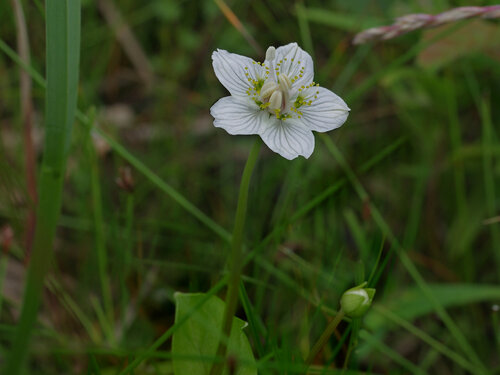 Белозор болотный (Parnassia palustris) Автор: Юрий Семенов