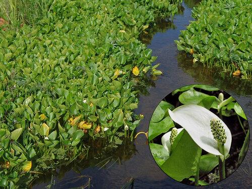 Белокрыльник (калла) болотный - Calla palustris. Ползучее болотное растение образует заросли прямо в воде. На фото – ручей, соединяющий Банное озеро с заливом у причала Хетта на Соловках. Такие же заросли видели на восточном берегу Игуменского озера. На врезке справа внизу – крупный «портрет» каллы из Интернета. Автор фото: Юрий Семенов