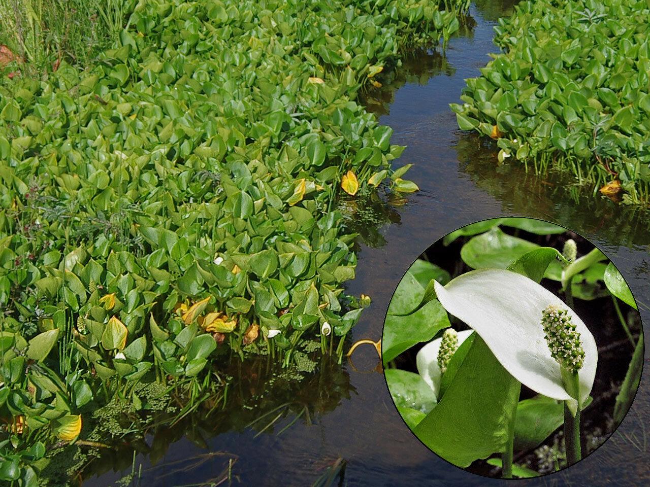 Белокрыльник болотный (Calla palustris). Автор фото: Юрий Семенов