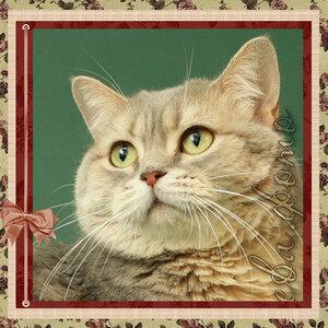 Афродита Нью Престиж Шоколад ay22 британская короткошерстная кошка голубого золотистого мраморного окраса