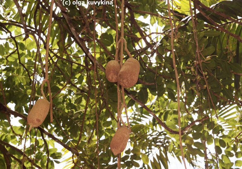 Плоды колбасного дерева (Kigelia africana)